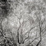 Beech Tree Canopy, NZ