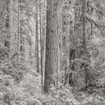 Primordial Redwood Forest, 2015