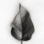 Aspen Leaf in Snow, 2001