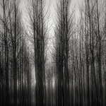 Poplars in Morning Fog, 2016