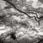 Reaching Branches, Fiordland, NZ 2011